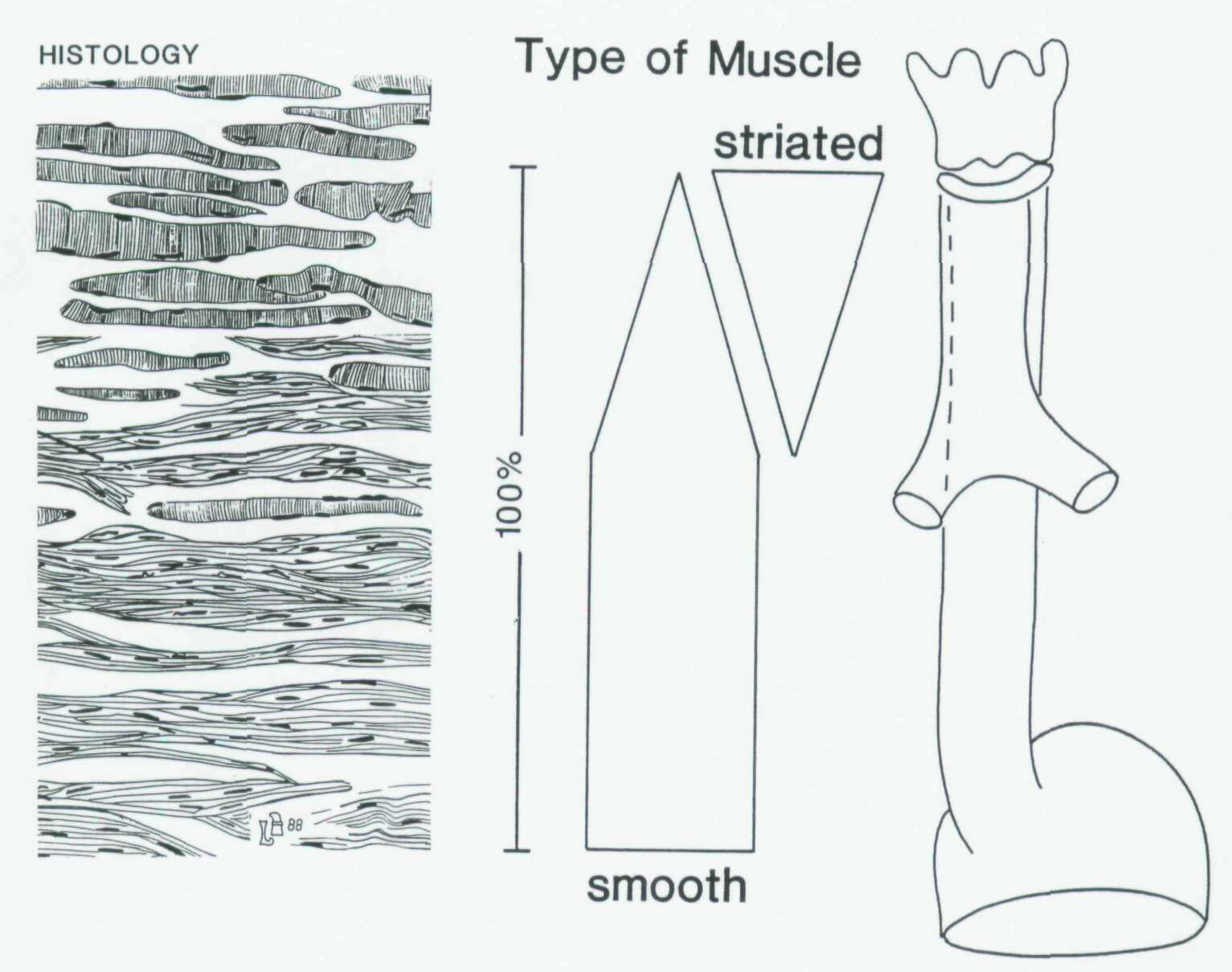 is the transition of striated into smooth muscle precisely known ?