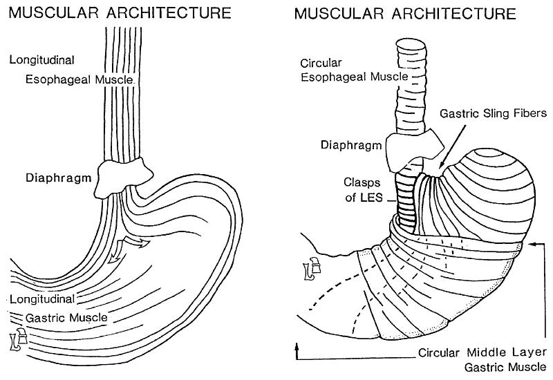what anatomic structures are undoubtedly responsible for
